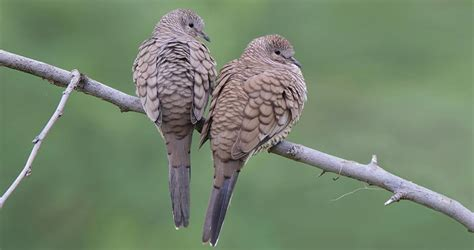 Inca Dove Identification, All About Birds, Cornell Lab of
