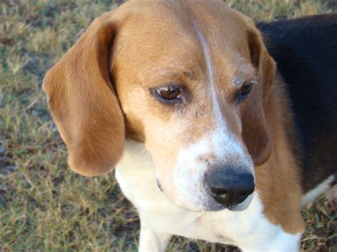 Lab will stop force-feeding pesticides to beagles - News