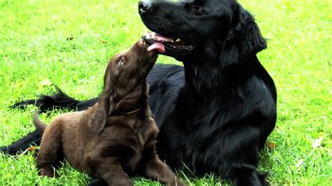 Flat-coated retriever father and puppies II - YouTube