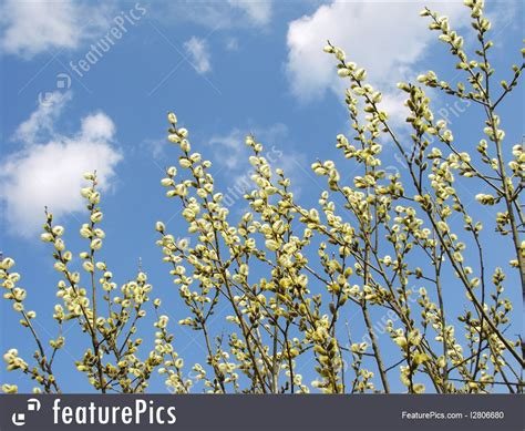 Pussy Willow Image