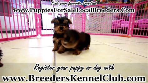 Yorkshire Terrier, Yorkie, Puppies For Sale, In Miami